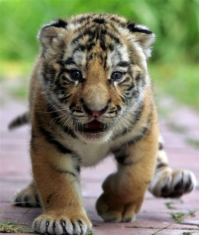 Name:  tiger_cub-thumb-411x485-213150.jpg