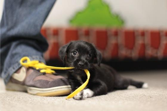 Click image for larger version.  Name:puppy-eating-shoelace.jpg Views:54 Size:20.5 KB ID:136575