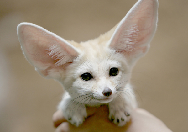 Name:  fennec fox.jpg