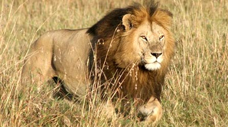 Name:  lion2.jpg