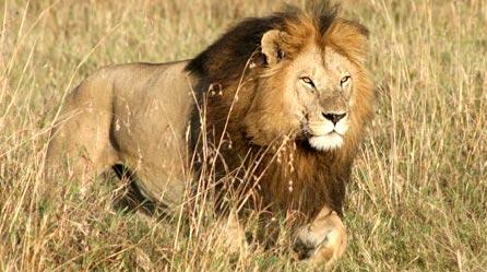 Name:  lion2.jpg Views: 21 Size:  34.1 KB