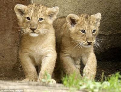 Name:  cute-lion-cub-400x305.jpg Views: 25 Size:  42.4 KB