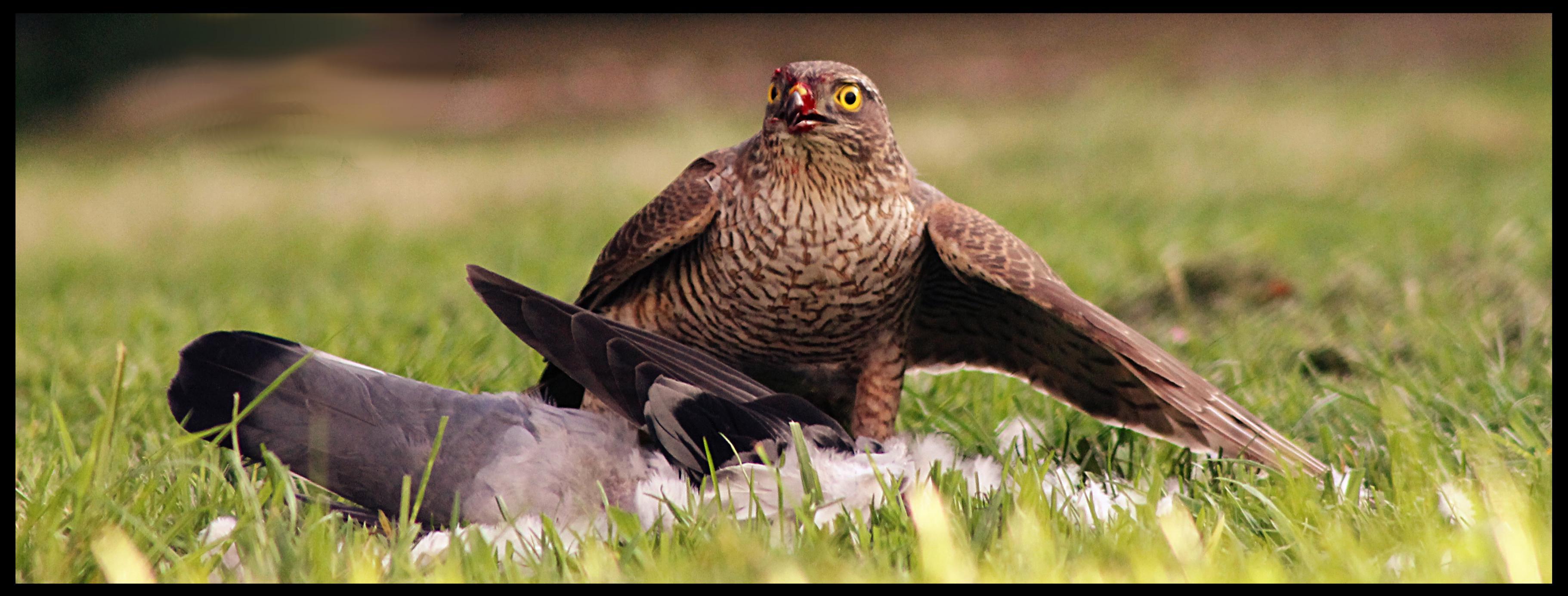 Name:  Sparrowhawk3.jpg Views: 47 Size:  495.0 KB