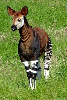 Name:  220px-Okapia_johnstoni_-Marwell_Wildlife,_Hampshire,_England-8a.jpg Views: 44 Size:  26.3 KB