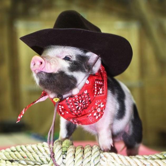 Name:  cowboy pig.jpg Views: 195 Size:  86.3 KB