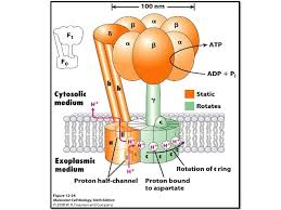 Name:  ATP synthase.jpg