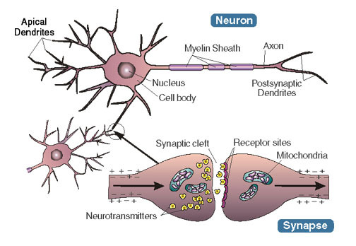 psychology essays memory synaptic formation A summary of memory processes in 's memory learn exactly what happened in this chapter, scene, or section of memory and what it means perfect for acing essays, tests, and quizzes, as well.
