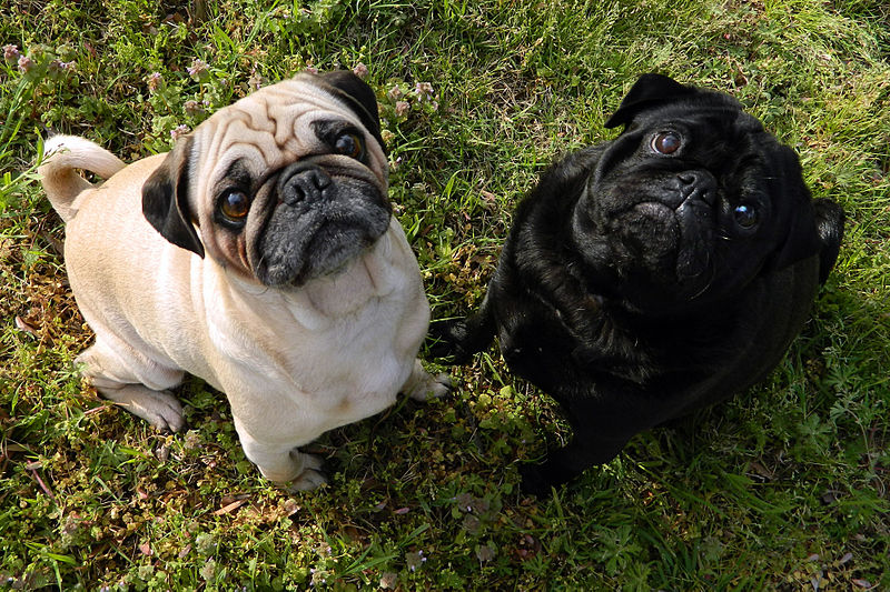 Name:  800px-Fawn-pug-and-black-pug.jpg