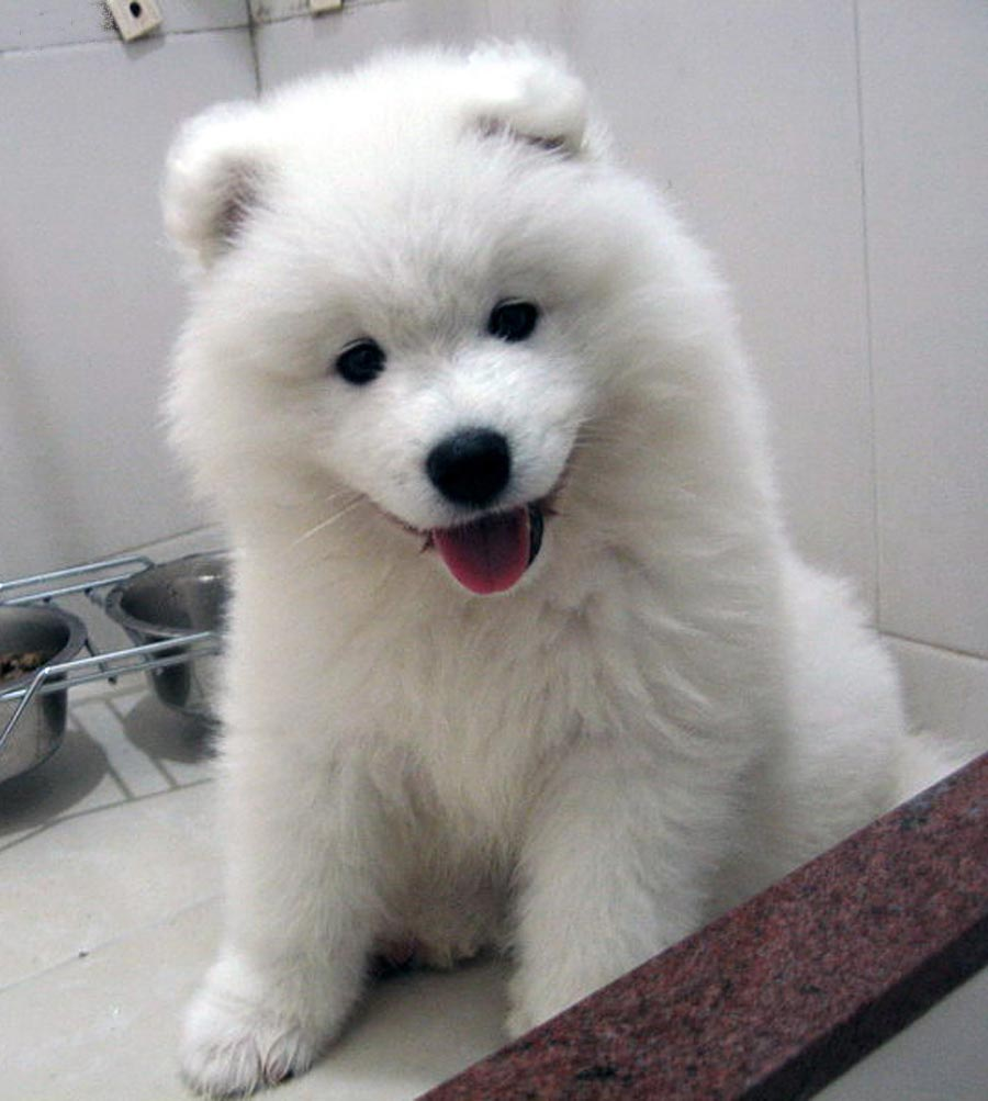 Name:  samoyed.jpg