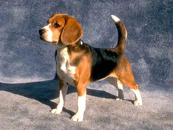 Name:  beagle-puppies-for-sale.jpg