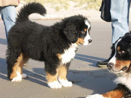Name:  bernese-puppy.jpg Views: 131 Size:  28.8 KB