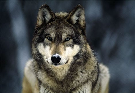 Name:  grey-wolf-snow.jpg