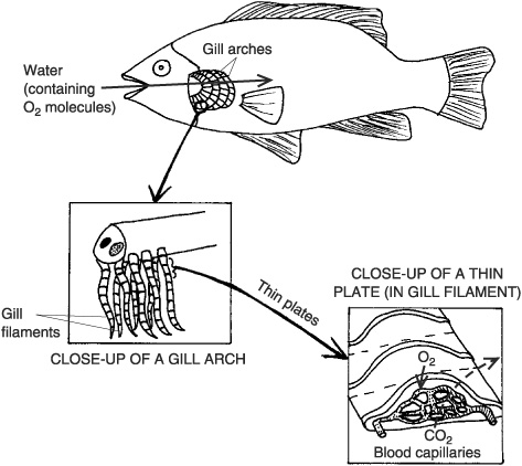 Anyone Have A Decent Diagram Of Fish Gills The Student Room