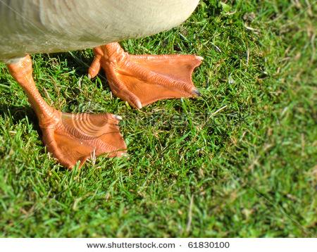 Name:  stock-photo-duck-feet-webbing-61830100.jpg Views: 59 Size:  124.8 KB