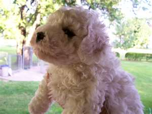 Name:  bichon frieze.jpg