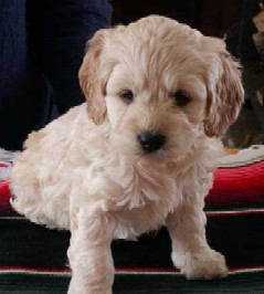 Name:  Cockapoo.jpg