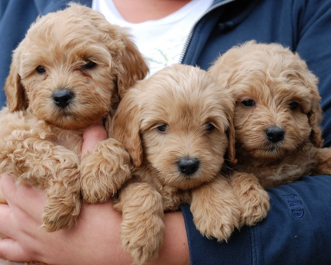 Name:  labradoodle-puppies.jpg