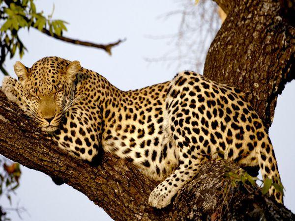 Name:  leopard_606_600x450.jpg Views: 85 Size:  77.9 KB