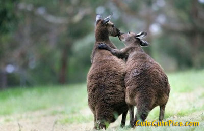 Name:  cute-kangaroos-kissing.jpg