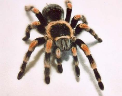 Name:  red_knee_tarantula.jpg Views: 39 Size:  18.1 KB