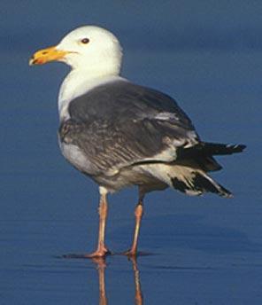 Name:  standing-Herring-Gull.jpg Views: 168 Size:  10.6 KB