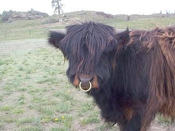 Name:  bull-with-nose-ring.jpg