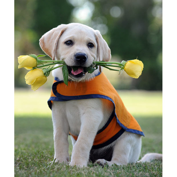 Name:  labrador-puppy_1612620i.jpg