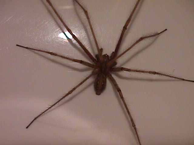 Name:  AreYouAfraidofSpiders.php_spider-in-bath-long-hairy-legs-closeup-2-DHD.jpg