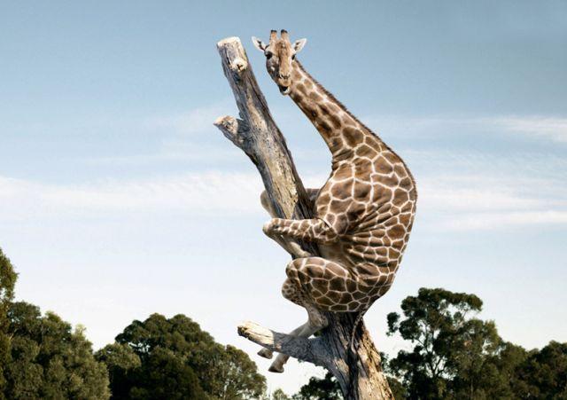 Name:  giraffe tree.jpg Views: 112 Size:  40.6 KB