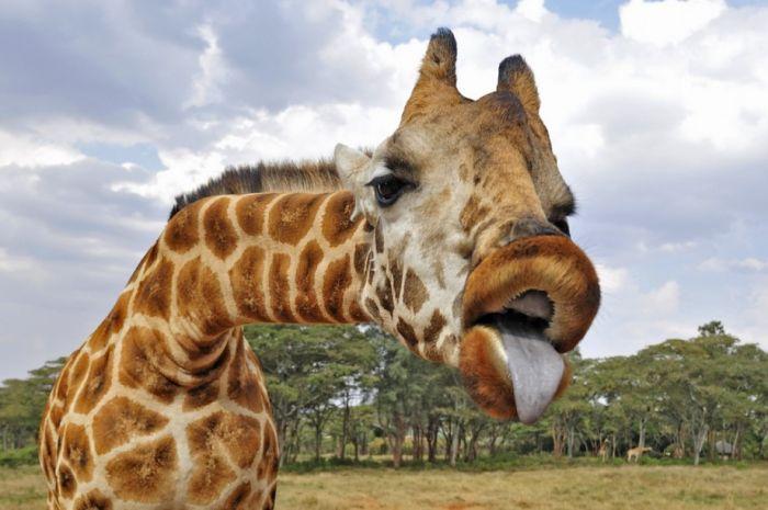 Name:  giraffe tongue.jpg Views: 257 Size:  51.9 KB