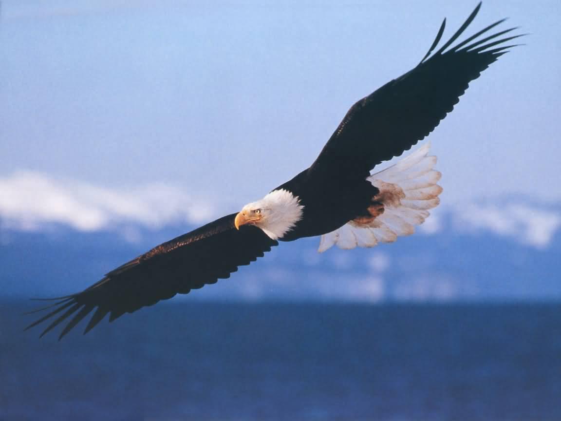 Name:  Bald_Eagle-1152x864b.jpg Views: 73 Size:  31.0 KB