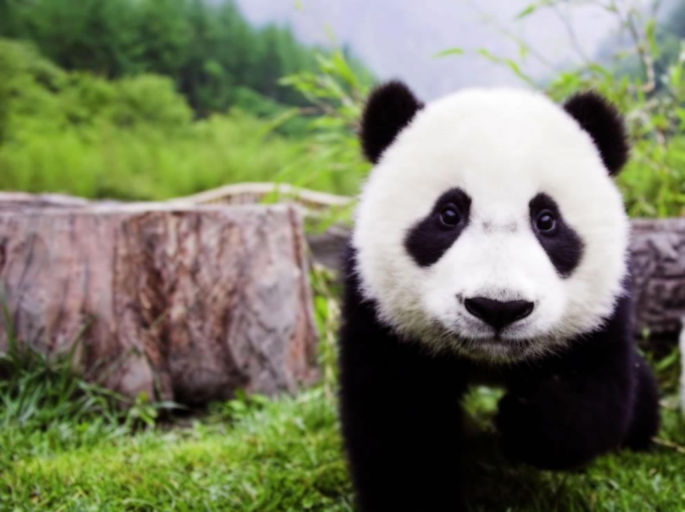 Name:  Baby-giant-panda-cub.jpg Views: 113 Size:  81.2 KB