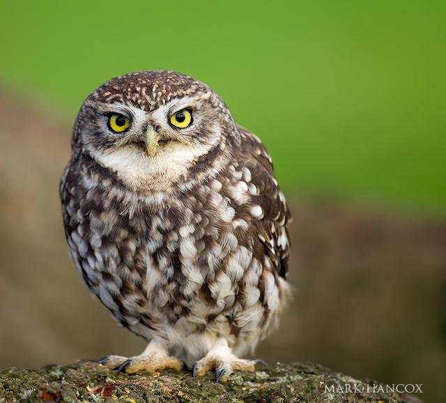 Name:  little_owl_22_new_web_.jpg Views: 65 Size:  279.5 KB