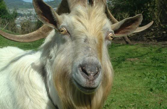 Name:  Goat.jpg