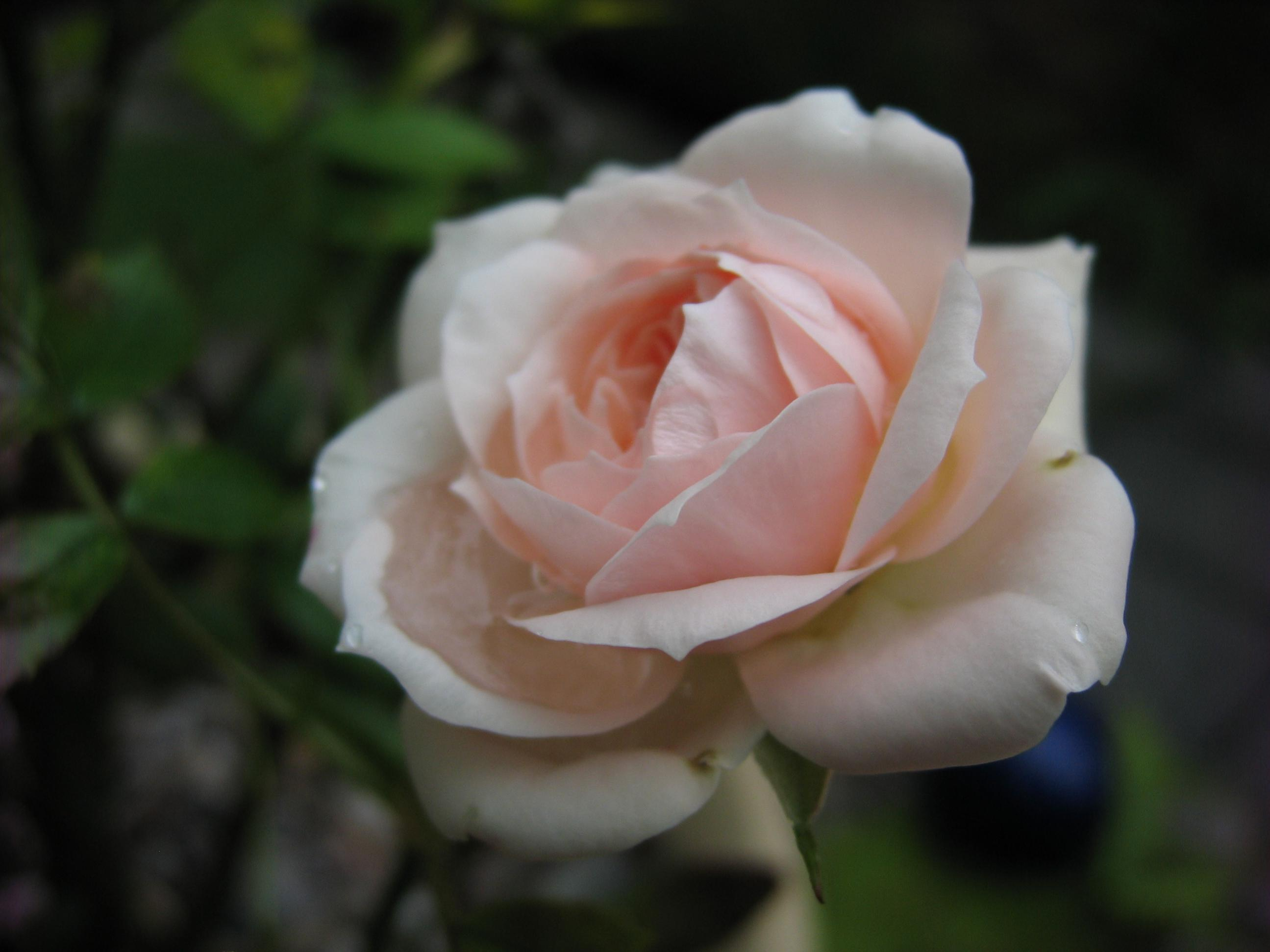 Name:  Photo of Rose.jpg