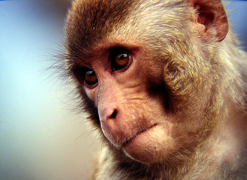 Name:  macaque.jpg Views: 100 Size:  169.8 KB