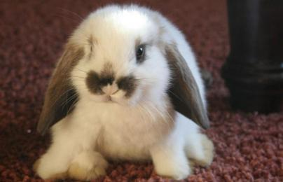 Name:  a-42-cute-bunny-HD-Wallpaper.jpg Views: 844 Size:  12.6 KB