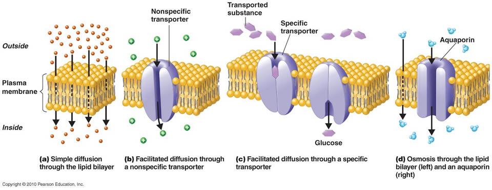 diffusion and albumin glucose na