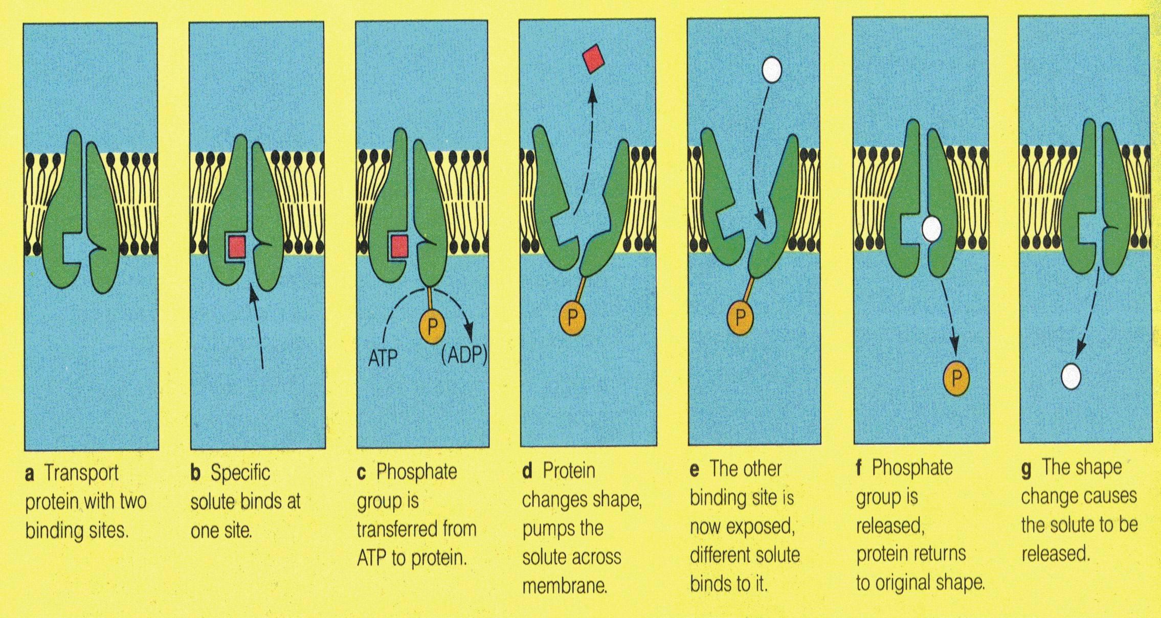 active transport and facilitated diffusion AQA AS BIO ...