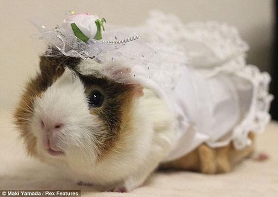 Name:  guinea-pig.jpg Views: 66 Size:  36.2 KB