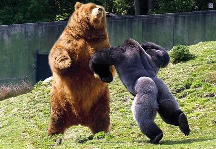Name:  gorilla vs bear.jpg