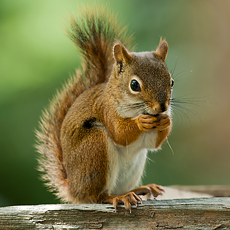 Name:  hh-animals-squirrel-4.png