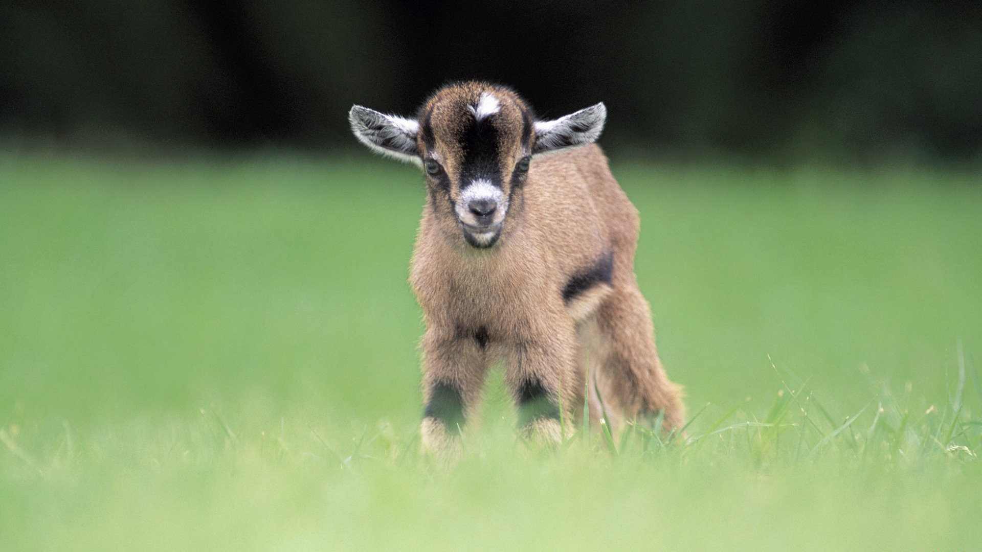 Name:  baby goat.jpg