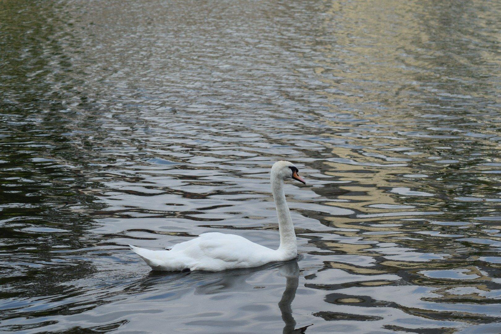 Name:  swan.jpg Views: 25 Size:  498.9 KB