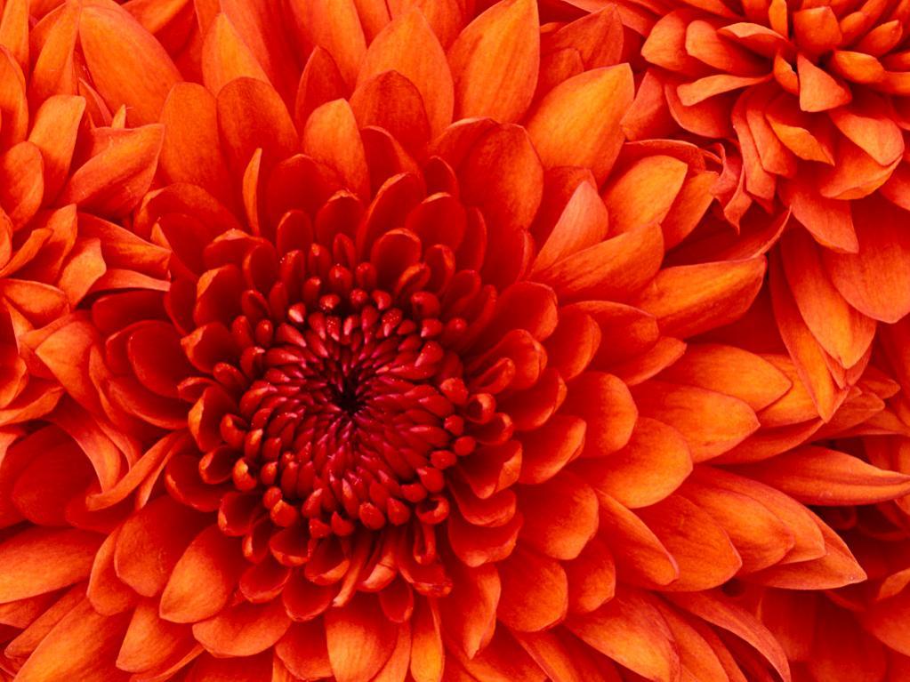 Name:  Chrysanthemum.jpg Views: 22 Size:  110.3 KB