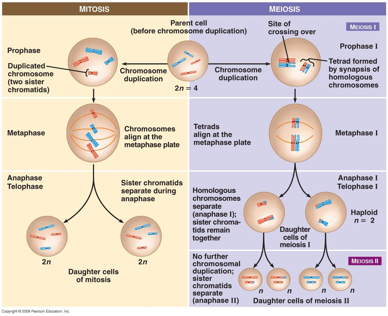 Name:  Meiosis-vs-Mitosis.jpg