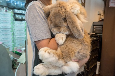 Name:  french-lop-giant-rabbit.jpg