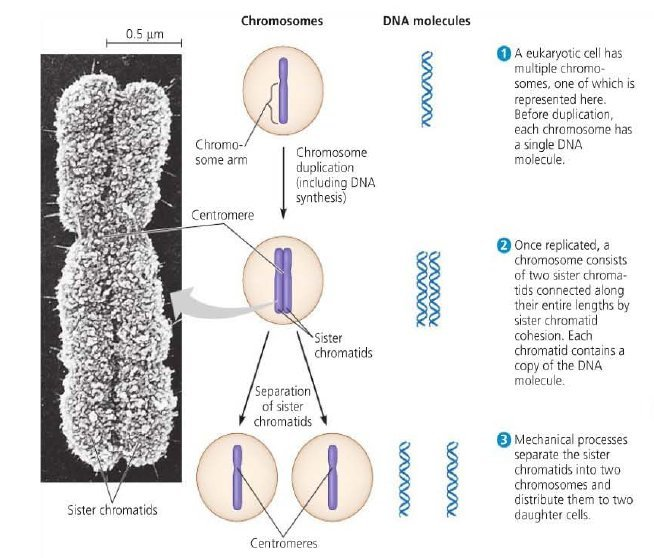What is the difference between Chromosomes/Chromatids etc