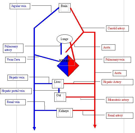 File:Circulatory system.jpg