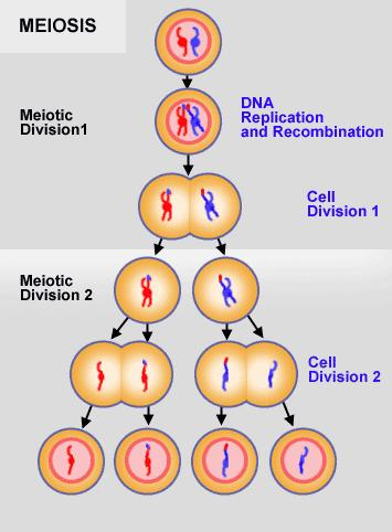 Revisiongcse biology genetics variation mitosis and meiosis imagemeiosisg ccuart Images